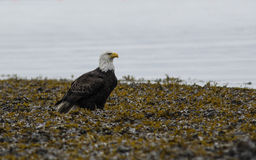 Eagle plains. A lone bad eagle sits on a field of plants in the Valdez Alaska harbor Royalty Free Stock Image