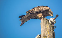 Eagle on pole Royalty Free Stock Photography