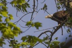 Eagle polowanie Obraz Stock