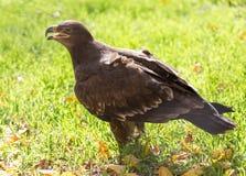Eagle-Porträt auf Natur Lizenzfreie Stockfotos