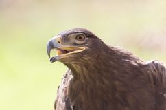 Eagle-Porträt auf Natur Lizenzfreie Stockbilder