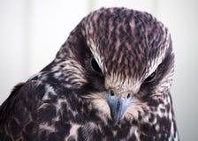 Eagle-Porträt, das unten dem weißen Hintergrund betrachtet Stockbilder