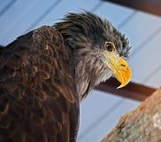 Eagle-Porträtansicht von unten Lizenzfreies Stockbild