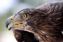 Eagle portrait. A portrait of a fantastic eagle Stock Photos