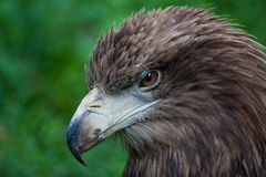 Eagle portrait. Brown eagle portrait against a green background stock image