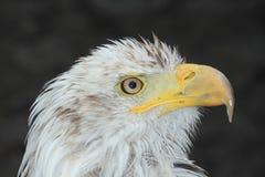 Eagle portrait Stock Images
