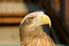 Eagle portrait Royalty Free Stock Image