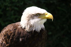 Eagle portrait. A beautiful white headed eagle head portrait Royalty Free Stock Images