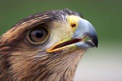 Eagle portrait. Isolated on green background stock image