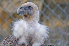 Eagle Portrait Fotografering för Bildbyråer