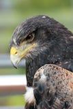 Eagle Portrait Royalty-vrije Stock Afbeelding