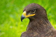 Eagle Portrait Fotografia Stock Libera da Diritti
