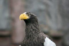 Eagle portrait. Beautiful portrait of a eagle looking right Stock Photos