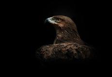 Eagle Portrait Image libre de droits