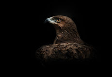 Eagle Portrait Lizenzfreies Stockbild
