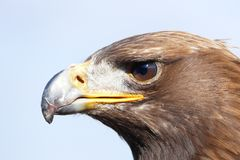 Eagle portrait Stock Photo
