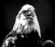 Eagle Portrait B&W. A Portrait of an Eagle in Black and White Stock Image