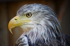 Eagle, Portrait, Bird, Nature Stock Photos