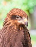 Eagle Royalty Free Stock Images