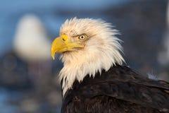 Eagle Portrait calvo, Alaska fotografia stock