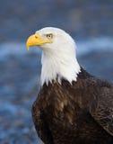 Eagle Portrait calvo, Alaska fotografie stock