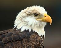 Eagle portrait. Captive adult American Bald Eagle at the World Bird sanctuary in St.Louis, Missouri Stock Images