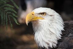 Eagle Portrait chauve dans Forest Background foncé photos stock