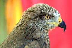 Eagle Portrait Royalty Free Stock Photo