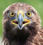 Eagle portrait Stock Image
