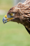 Eagle portrait. Close up shot of eagle portrait Royalty Free Stock Image