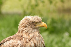 Eagle portrait haliaeetus albicilla Stock Photo