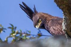 Eagle Portrait Lang-mit Haube Stockbild