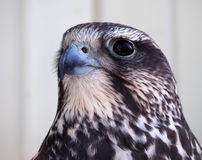 Eagle portrait from right side Stock Photography