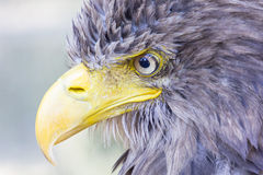 Eagle. Portrait of the sea eagle Stock Photo