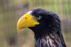 Eagle portrait Stock Photography