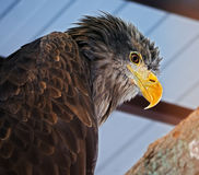 Eagle portrait view from down Royalty Free Stock Image