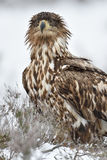 Eagle portrait in winter. Royalty Free Stock Image