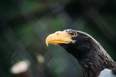 Eagle portrait with yellow beak Royalty Free Stock Images