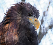 Eagle-portretmening van onderaan het kijken aan de linkerzijde stock foto's