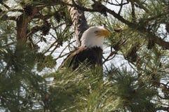 Eagle Pose lizenzfreie stockfotos