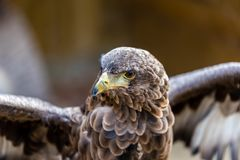 Eagle posera Royaltyfria Bilder