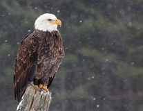 Eagle on a Post Stock Photos