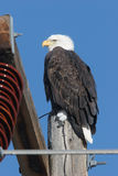 Eagle on Power Pole. Bald Eagle on an electrical pole; clean, crisp, sharp image Royalty Free Stock Photo