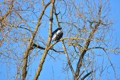 Eagle Preening chauve américain adulte photos libres de droits