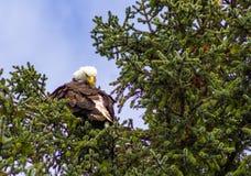Eagle Preening hans fjädrar som är höga på en trädfilial royaltyfria bilder