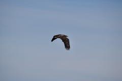 Eagle prende il volo Fotografia Stock