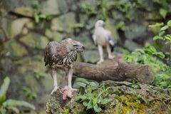 Eagle with prey on branch Stock Photography