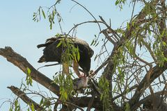 Eagle with prey. Eagle on a tree eating its prey stock image
