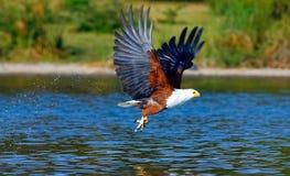 Eagle with prey. Naivasha lake. Eagle with prey over the lake. Naivasha lake, Kenya Royalty Free Stock Image
