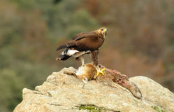 Eagle with prey notes. A golden eagle with prey notes Stock Images